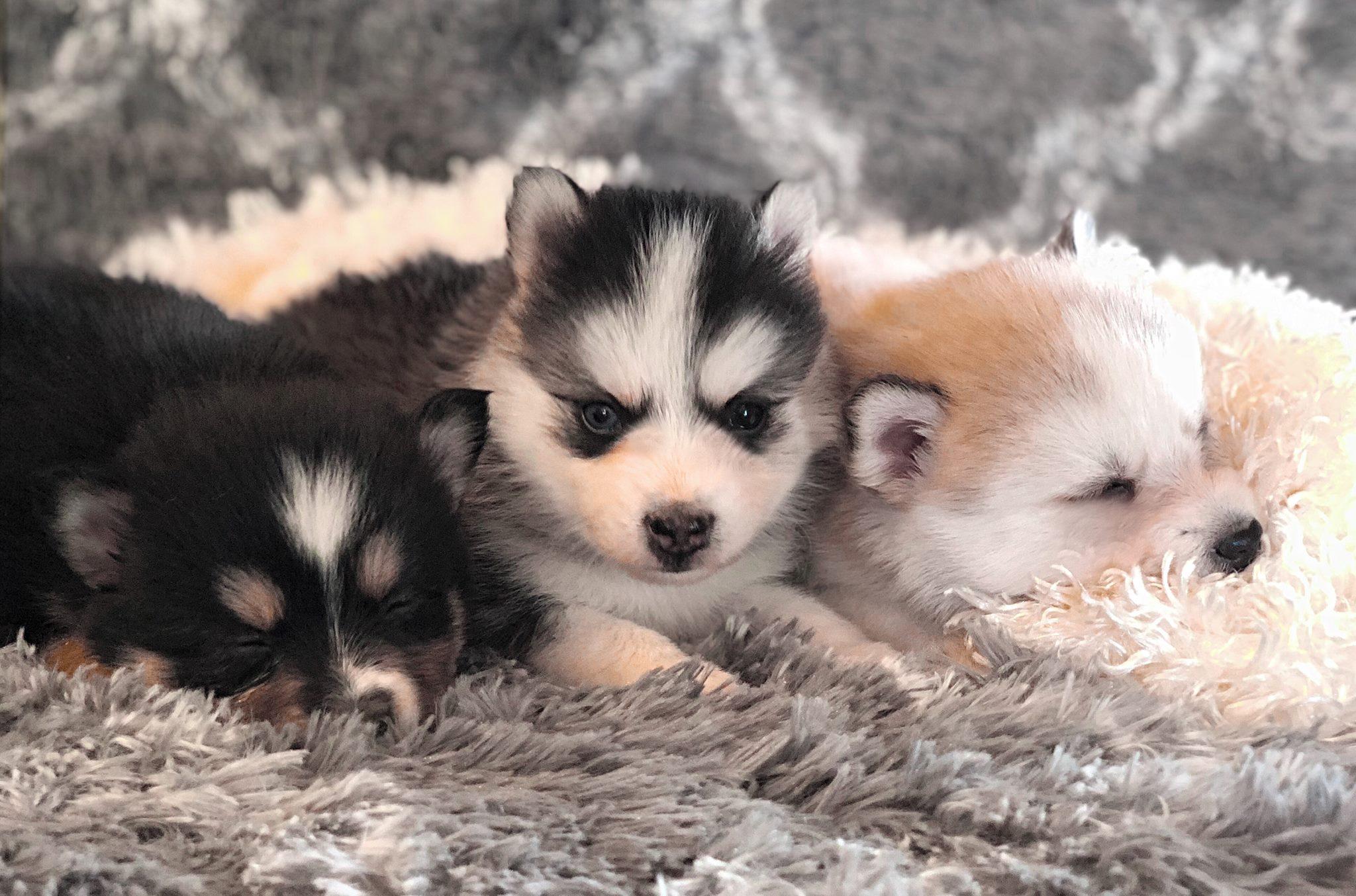 помски щенки