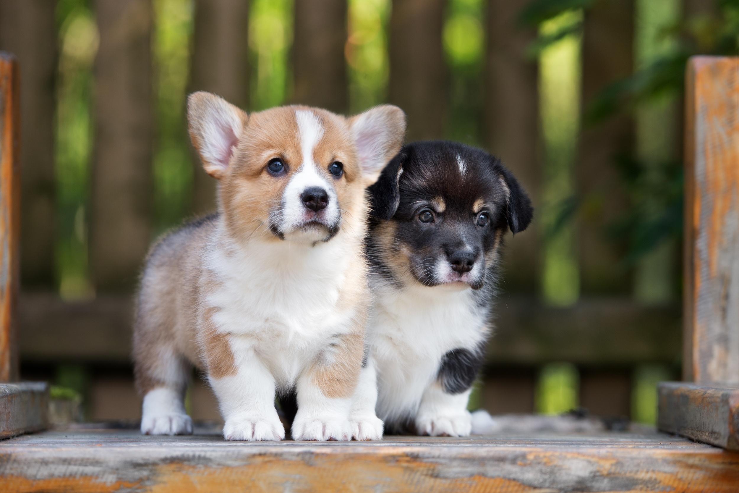 корги щенки