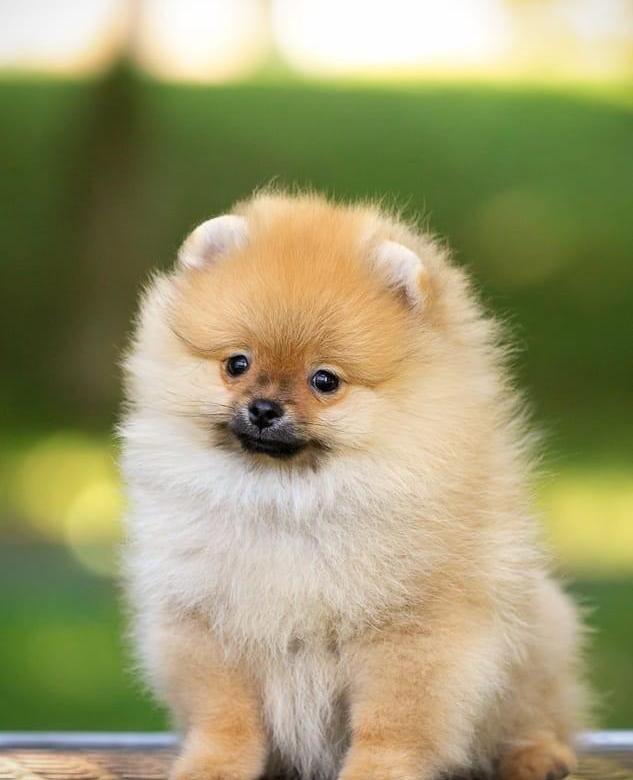 щенок шпица