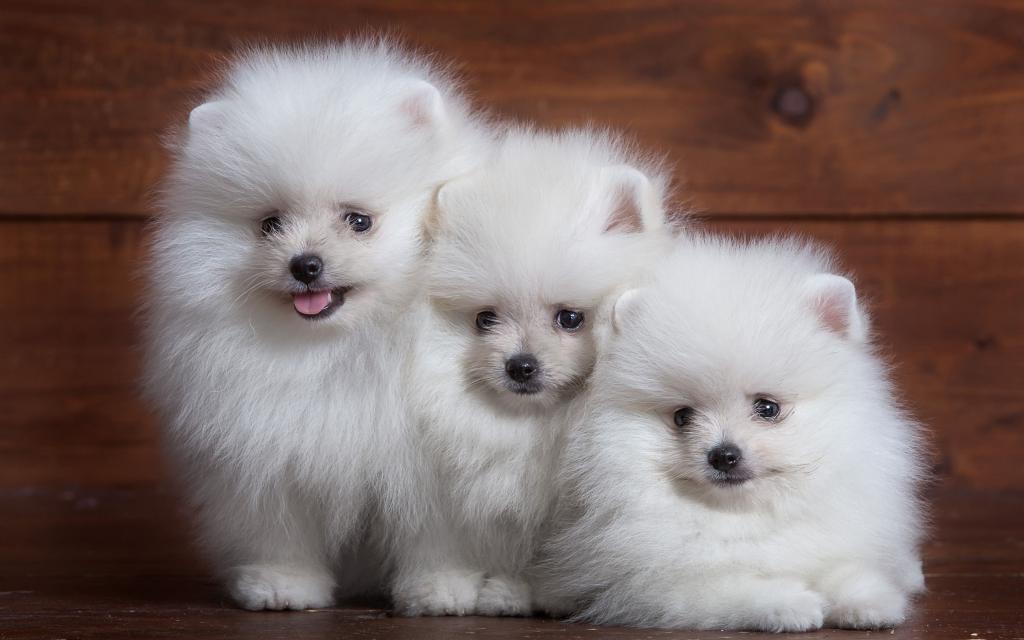 шпиц щенок
