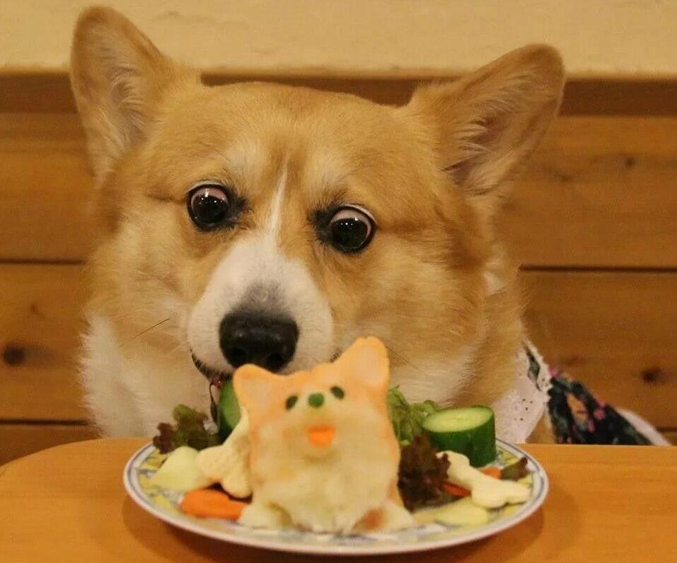 корги обедает