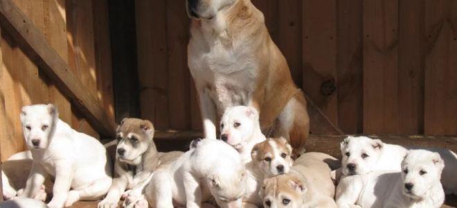 Развитие щенка среднеазиатской овчарки (по месяцам)