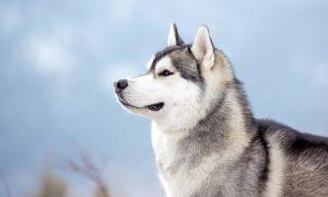Сибирский хаски – северная жемчужина