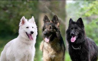 Разновидности немецких овчарок (белая, черная, китайская и другие)