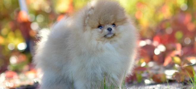 Особенности развития щенка померанского шпица по месяцам