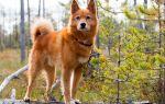 Карело-финская лайка идеальная охотничья порода