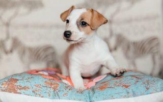 Рекомендации по уходу и содержанию щенков джек рассел терьера