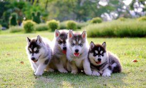 Все самое важное о щенках хаски