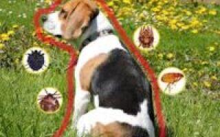 Как защитить собаку от укуса клеща