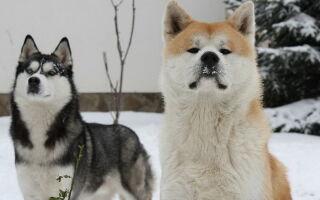 Отличие между породами акита-ину и хаски