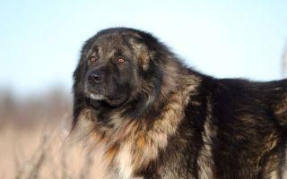 Кавказская овчарка — могущественный волкодав