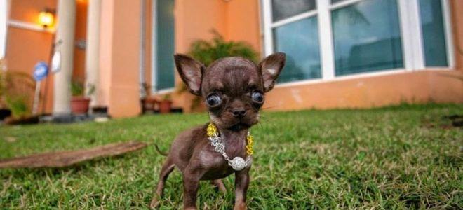 Чихуахуа Милли — самая маленькая собачка в мире