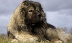 Все о продолжительности жизни кавказской овчарки