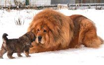 Размеры щенка и взрослой собаки породы тибетский мастиф