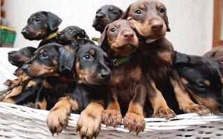 Все самое важное о щенках добермана