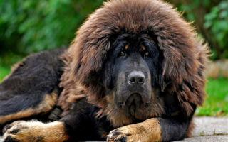 Тибетский мастиф — самая большая и дорогая порода собак