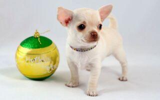 Маленькие породы собак: топ самых лучших