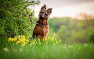 6 интересных фактов о немецкой овчарке