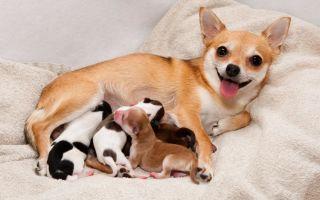 Что нужно знать о беременности и родах чихуахуа