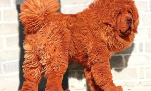 Тибетский мастиф Hong Dong — самая дорогая собака в мире