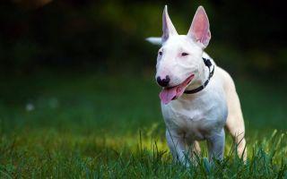 Бультерьер — собака с огромной силой духа
