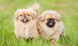 Этапы развития щенка пекинеса