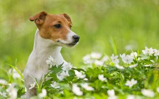 Джек Рассел терьер — активный пёс с большой душой охотника