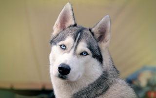 Сибирский хаски особенности породы