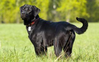 Сколько весит лабрадор: размеры щенка и взрослой собаки