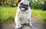 Мопс — маленький коренастый пёсик с милой мордочкой