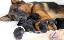 Что нужно знать о беременности и родах немецкой овчарки?