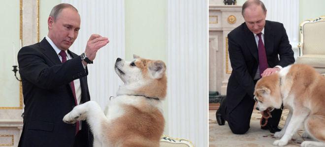 Акита-ину Юмэ — собака президента