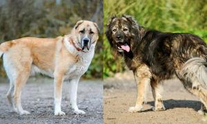 Алабай и кавказская овчарка: сравнение пород