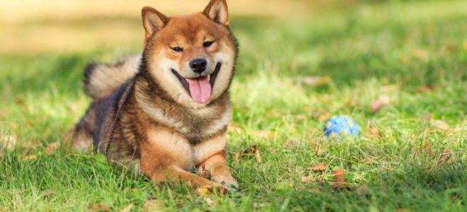 Сиба (шиба) ину — японская собака-улыбака