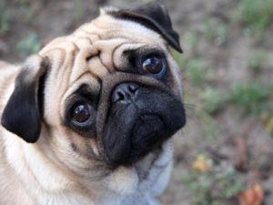 Мопс черный, рыжий, персиковый, бежевый и другие окрасы шерсти собак с фото и видео