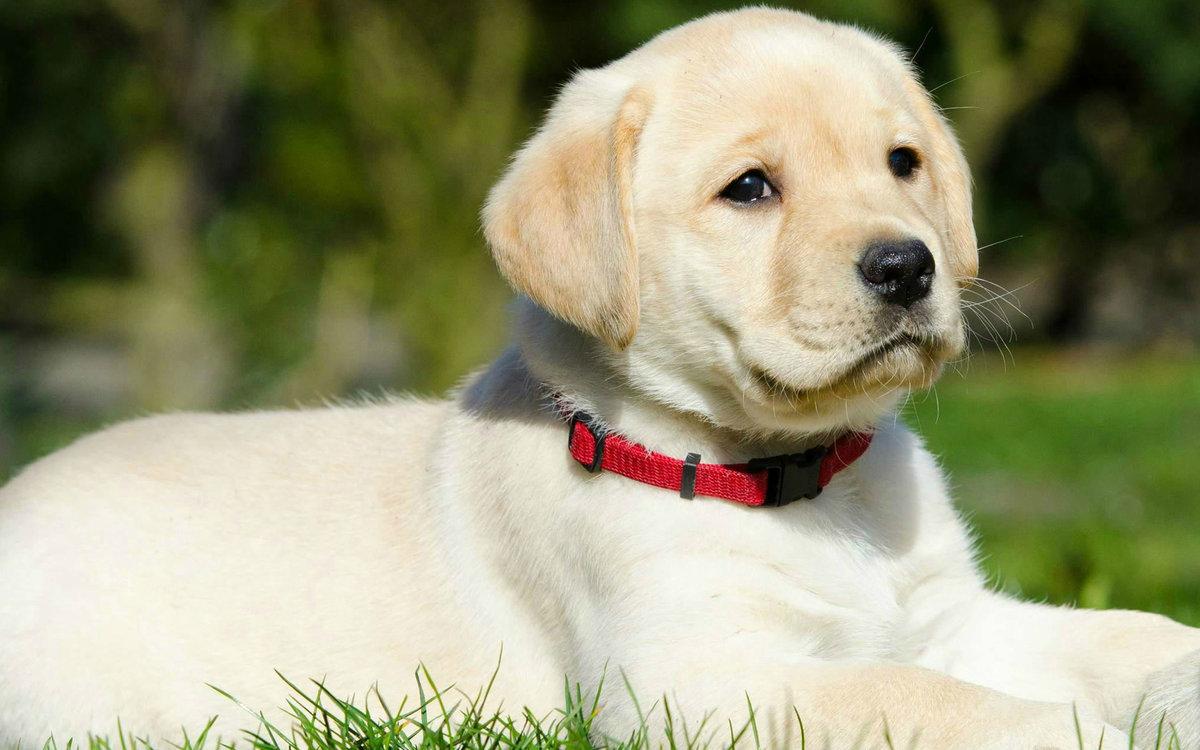 Лабрадор-ретривер: дрессировка собаки в домашних условиях